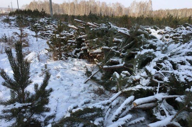 Тысячу сосен под Челябинском вырубили ибросили удороги