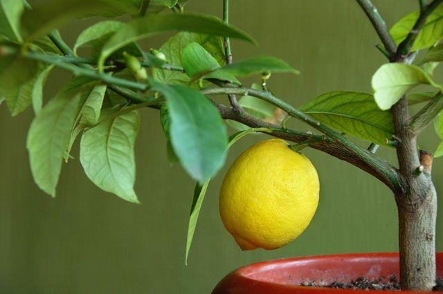 Можно ли вырастить комнатный лимон из семечка?