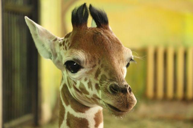 Калининградцам предложили придумать имя для жирафа.
