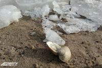 На Куршской косе туристы обнаружили вмерзших в лед медуз.