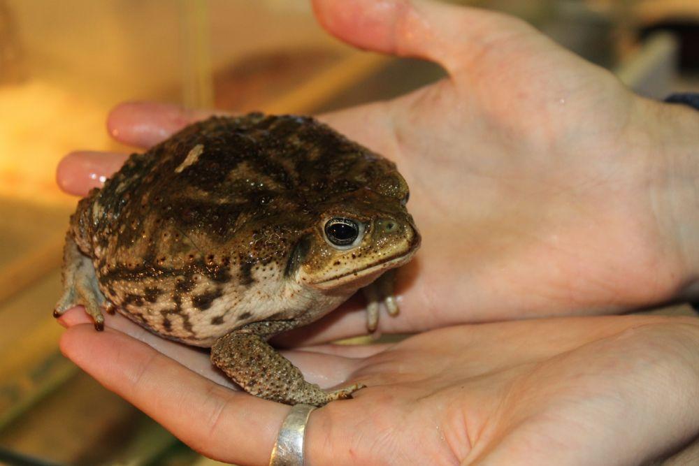 Жаба-ага. Длина тела может достигать 24 сантиметра, а вес – килограмм.