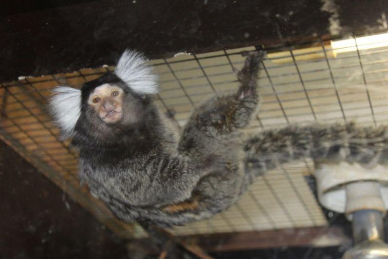 Белоухая игрунка. Самая маленькая и примитивная среди высших приматов.