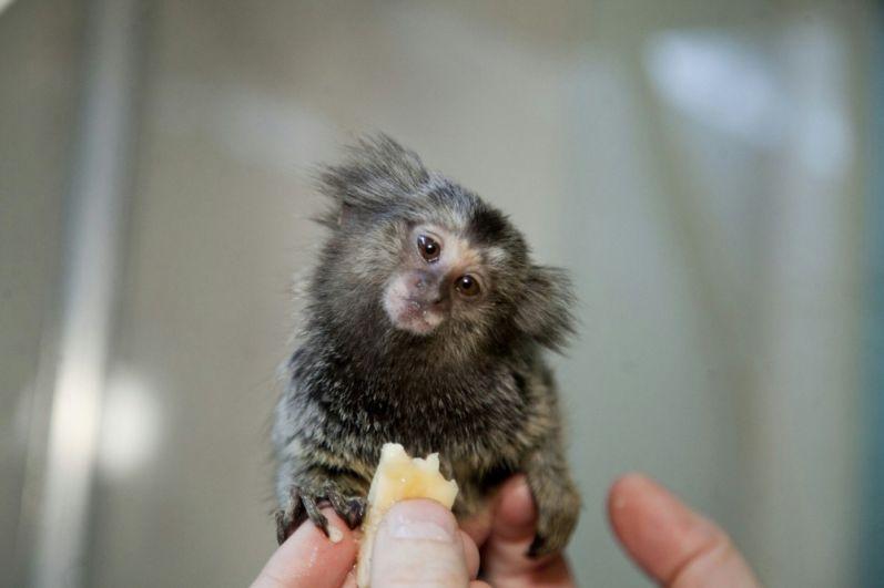 Белоухая игрунка. Этот примат способен произносить звуки, напоминающие высокую трель, которую он произносит с открытым или закрытым ртом, вибрируя языком.
