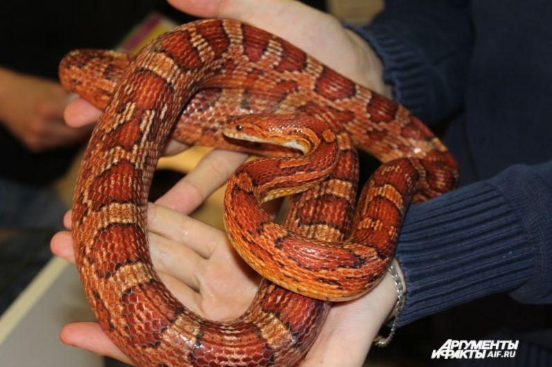 Полоз маисовый. Одна из самых популярных змей у любителей экзотических животных.