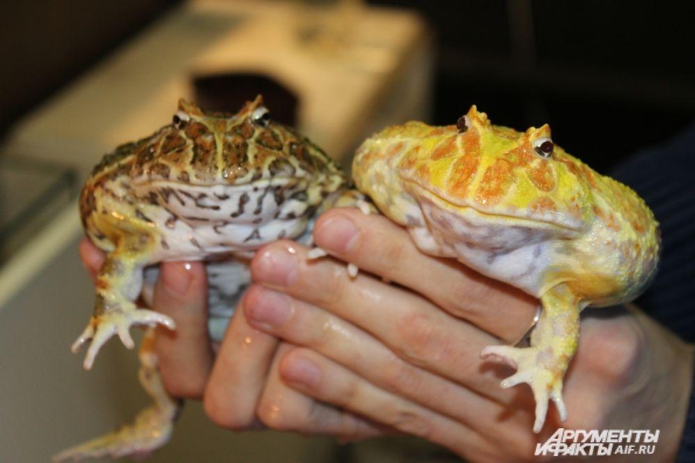 Рогатки украшенные. Питаются крупными членистоногими, грызунами, ящерицами, лягушками и даже небольшими змеями.