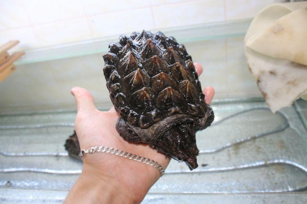 Грифовая черепаха. Имеет ярко-красный язык, который в природе использует как приманку при охоте на рыб.