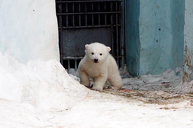 Белый медвежонок, родившийся в середине декабря, чувствует себя хорошо.