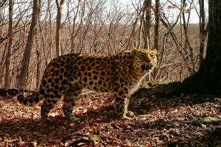Леопард - красивый, но дикий, может человека ранить.