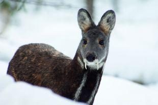 Кабарге трудно передвигаться по снегу.