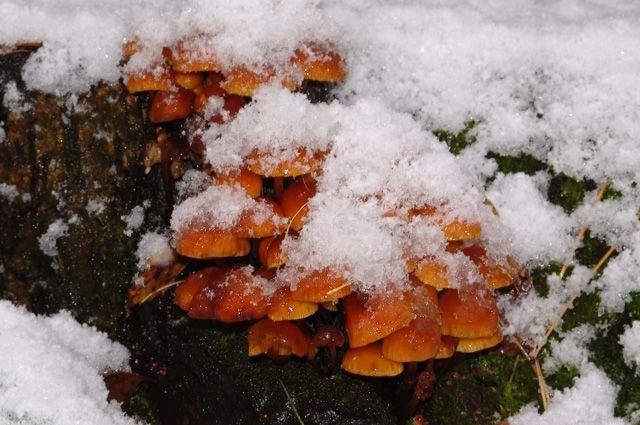 Какие грибы «дали урожай» в январе?