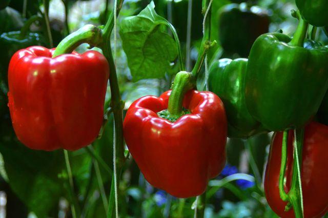 Хочу сладкий перец! Как вырастить овощ, как в магазине?
