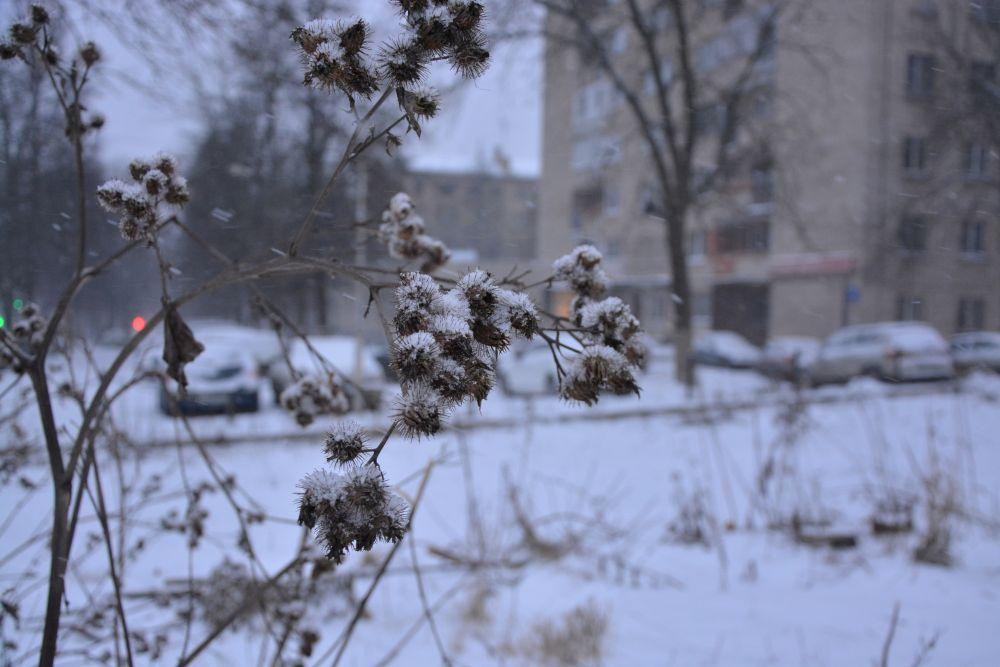 зимний репейник