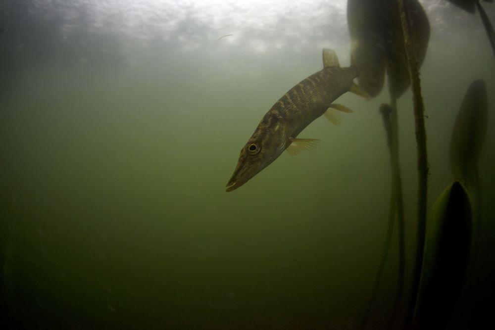 Снимать в пресноводных водоемах сложнее, чем в морях и океанах, говорит фотограф.