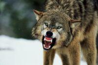 В Житомирской области на село нападают волки