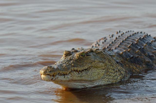 В подвале одного из домов Санкт-Петербурга обнаружен крокодил