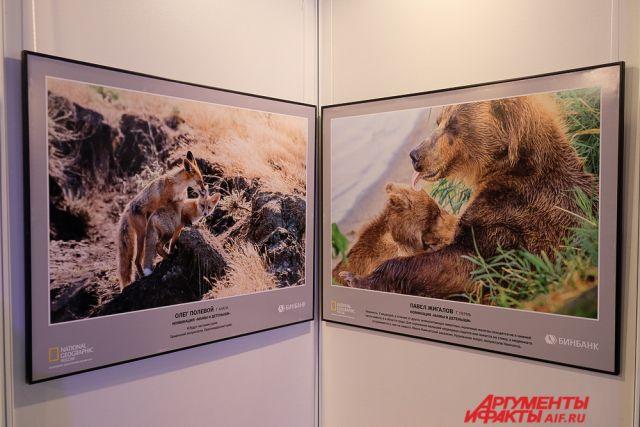Среди выставочных работ есть фотография пермяка Павла Жигалова под названием «Нежность», сделанная на территории Южно-Камчатского заказника.