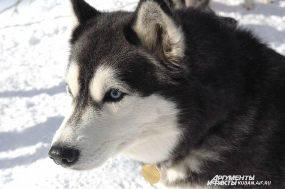 Предками собак были волки, но сибирские хаски и маламуты служат человеку и считаются очень дружелюбными.