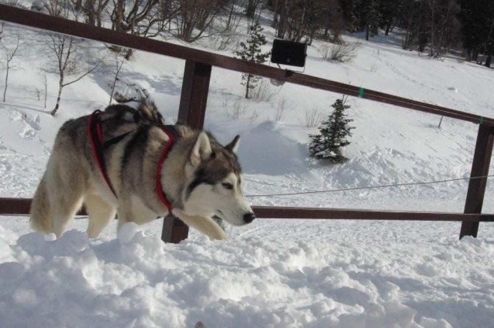 чтобы собакам было легко бежать, в день гонки их совсем не кормят. А рядом туристы от всей души угощаются шашлыком.