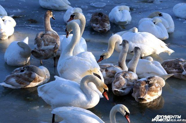 В МЧС сообщили, что не занимаются спасением лебедей.