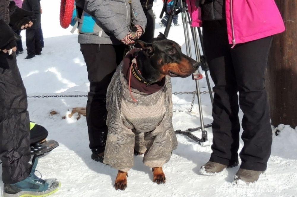 Гладкошерстным собакам в горах нужна специальная одежда.