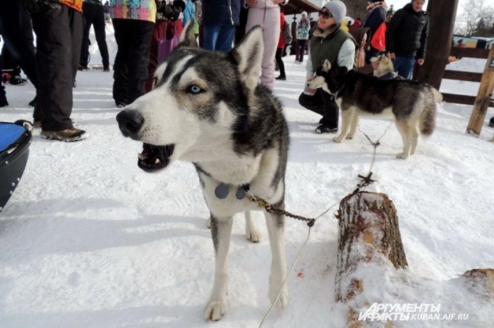 Многие собаки скулили от нетерпения.
