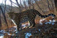 Леопард Лорд встречается сразу с тремя дамами.