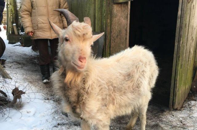 Житель Светлого украл козу, чтобы подарить ее бабушке возлюбленной.
