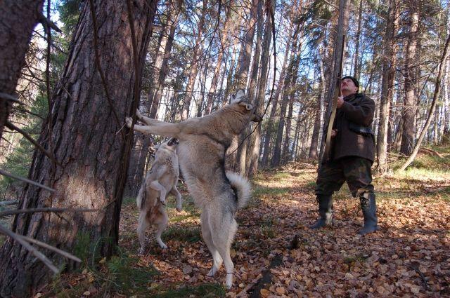 Без притравки собаки опытный охотник не пойдёт за крупной добычей.