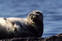В настоящее время добывать тюленя разрешено только коренным народам.