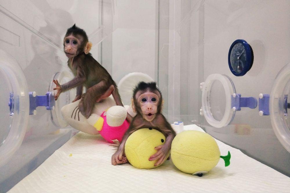 Клонированные обезьяны Чжун-Чжун и Хуа-Хуа в Институте нейронаук в Шанхае, 20 января 2018 года. Китайские ученые впервые смогли провести процесс клонирования приматов методом переноса ядра соматической клетки. По такому методу в 1996 году клонировали овцу Долли.
