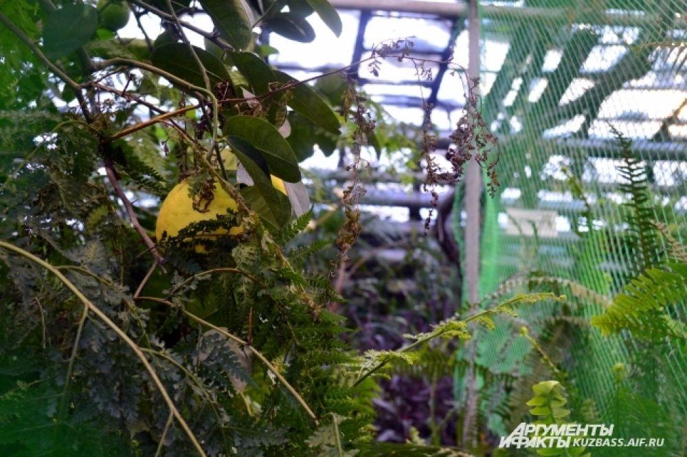 Но некоторые вполне себе спокойно растут. Оказывается, за всё время сада ботаники собирали «урожаи» карликовых бананов, ананасов, лимонов.