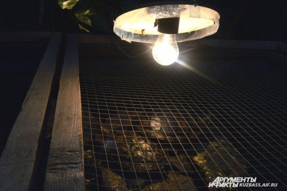 Черепахи тут «загорают» под яркими лампами.
