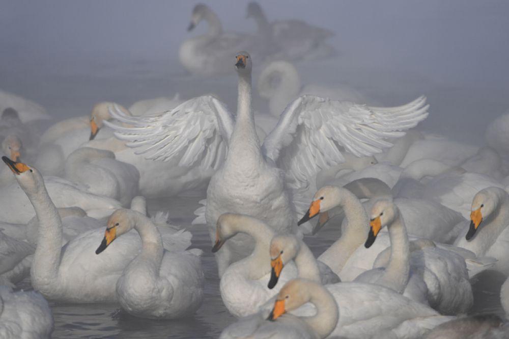 Лебеди-кликуны зимуют на Лебедином озере, расположенном на территории государственного природного комплексного заказника «Лебединый» в Алтайском крае. 25 января 2018 года.