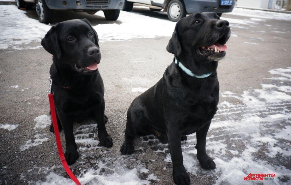 Два лабрадора Блека. Тот, что справа, - взрослый пёс, который ищет тайники с наркотиками. Второй - подросток, которого готовят на замену старшему товарищу.