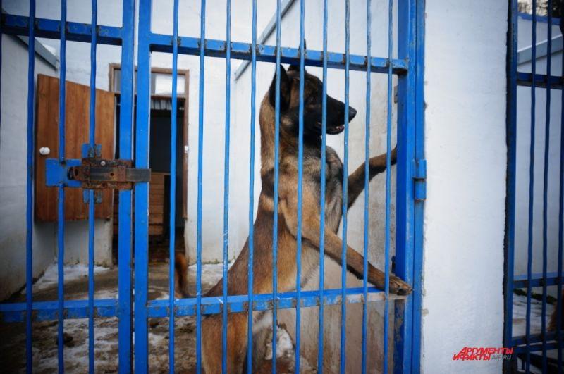Бельгийская овчарка (малинуа) по кличке Альфа  работает с кинологом на круглосуточных дежурствах и участвует в задержаниях.