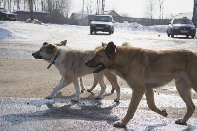 Стая из 12 собак разгуливает по Нижневартовску