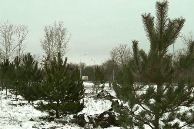 Высадка сосен началась налевом берегу Дона вРостове-на-Дону
