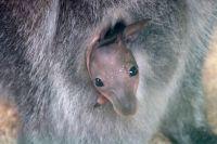 Первые месяцы жизни кенгурята развиваются в сумке матери.