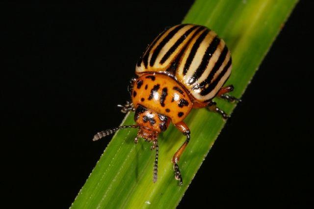 Ученые нашли секрет «непобедимых» колорадских жуков - Real estate