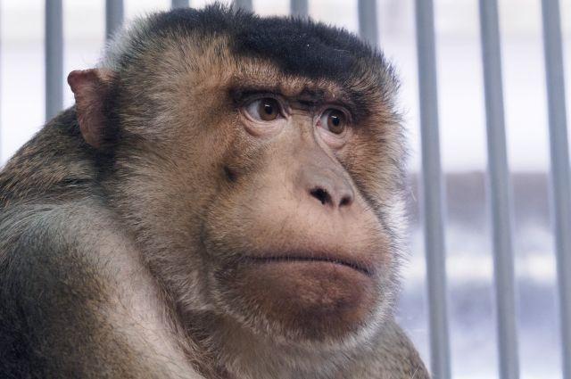 У этого примата глаза как у человека.