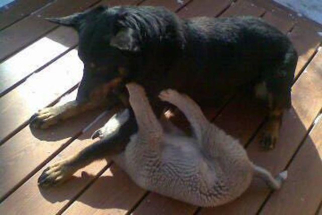 Барон был миролюбивым псом.