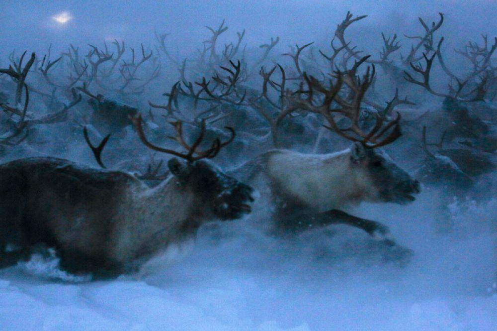 Северные олени в сельскохозяйственном производственном кооперативе «Тундра» в Мурманской области.