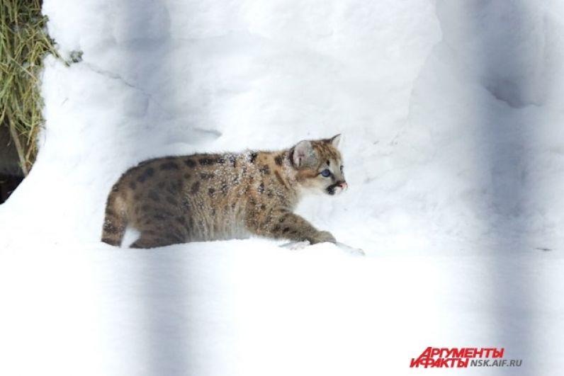 Маленькому же обитателю Новосибирского зоопарка пока рано взрослеть.