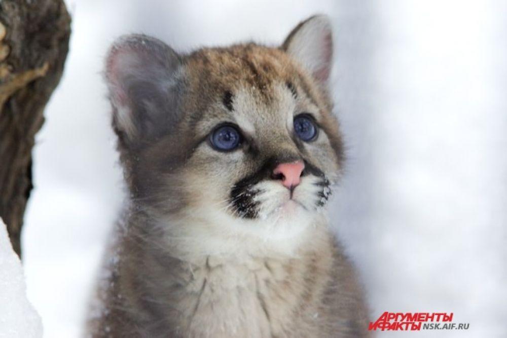 Маленький пума или горный лев очень обаятельный. Цвет глаз у детеныша - необычного яркого цвета, но к 6 месяцам он поменяется.