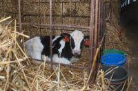 На повышение продуктивности коров направят 11,6 млн рублей.