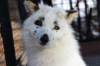 Второй год подряд лисица предсказывает позднюю весну.