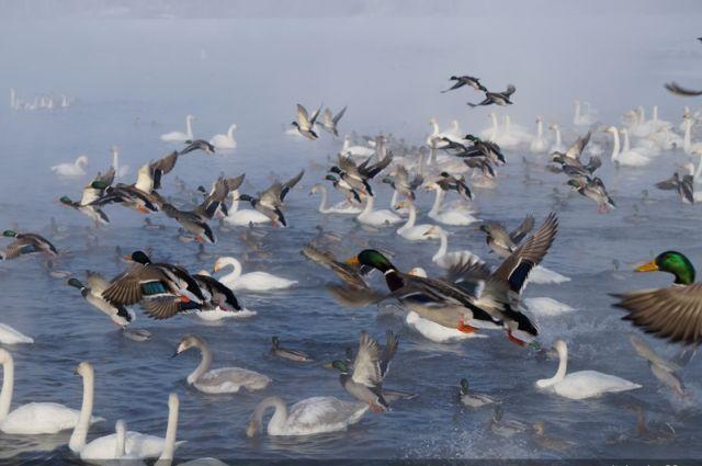 Лебеди в заказнике.