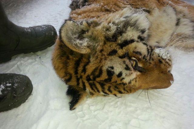 Тигрица как будто ждала помощи от людей.