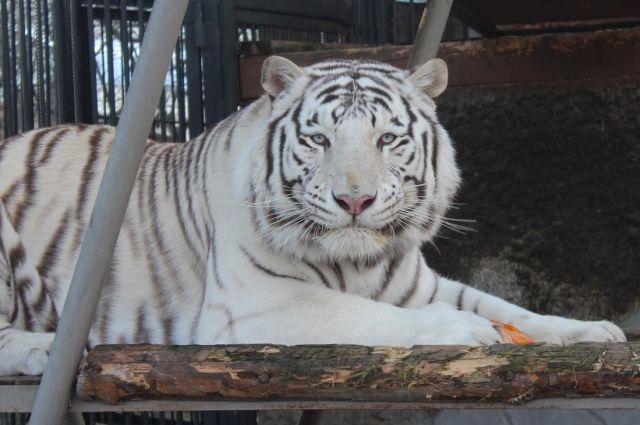 Бенгальский тигр Хан.