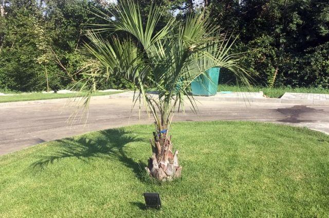 Пальмы прекрасно чувствуют себя летом под кубанским солнцем, но, как выясняется, и мороз способны выдержать.